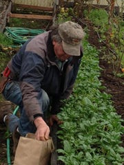 Carl Hendricks, co-owner of Fresh To You Produce in Stayton, harvests spinach