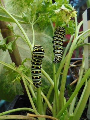 This pair of full grown, black swallowtail caterpillars had located three small curly parsley plants on the patio Aug. 30, and soon left nothing but stems.