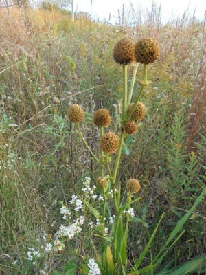 Meet rattlesnake master, one of the abundant prairie plants now filling the small prairie area adjacent to Harvey One-Room School.