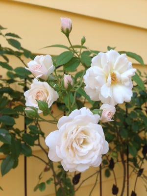 To enjoy beautiful roses this spring, prune now. The first flowers can be expected eight to nine weeks after pruning.