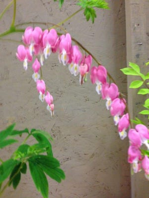 This flowing strand of bleeding hearts is a familiar sight in spring gardens.
