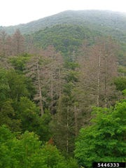 Overview of trees destroyed by hemlock woolly adelgid.