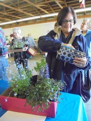 At the recent plant sale held by the Earth, Wind and Flowers Garden Club, Carol Kear selects a tray of blue blooming plants, including forget-me-nots and ajuga.