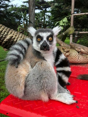 This Dec. 17, 2018, photo provided by the San Francisco Police courtesy of the San Francisco Zoo, shows a missing lemur, named Maki. The ring-tailed lemur was missing from the San Francisco Zoo after someone broke into an enclosure overnight and stole the endangered animal, police said Wednesday, Oct. 14, 2020. The 21-year-old male lemur was discovered missing shortly before the zoo opened to visitors, zoo and police officials said. They're seeking tips from the public in hopes of finding the lemur, explaining that Maki is an endangered animal that requires specialized care.