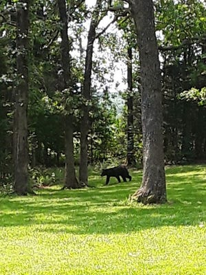FILE - Victoria Washburn captured a black bear on camera at Lions Club Park in Rolla in 2019.