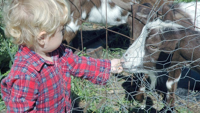 Joren McCurdy, 2, feeds one of the family's five pygmy goats at their Okemos home. The goats will be able to stay after the township board voted Tuesday to rezone the property.