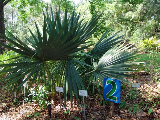 Saw Palmetto Is Attractive Useful