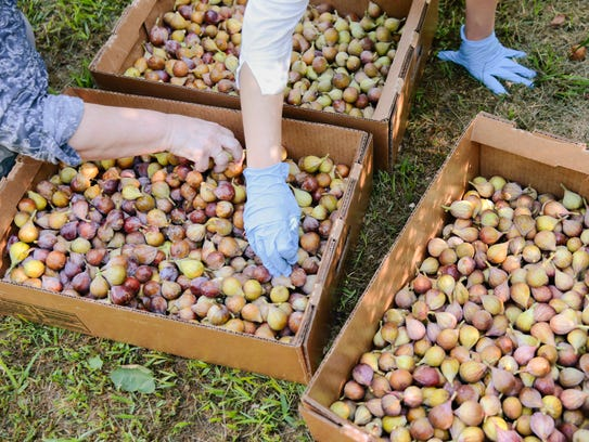 Celeste figs picked for St. Julien's Goods, a non-profit