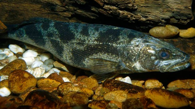 Saugeye is a cross between the Walleye female and the Sauger male that has been genetically manipulated.