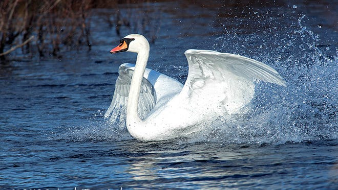 Mute swans are an invasive species in the Hudson Valley.