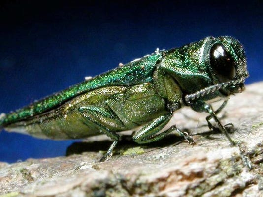 closeup of ash borer.jpg