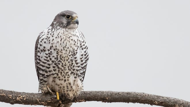A rare gyrfalcon has been a frequent flier at the State Line Lookout in Alpine.