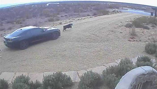 Surveillance video captures a black Chevrolet Camaro moments before it hits Jude, an Australian shepherd owned by Jared and Kellie Curry. Jude did not survive the incident, which happened about 3 p.m. Friday, Feb. 16. Officials are searching for the driver of the vehicle.