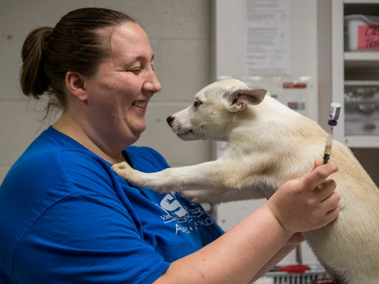 Jon Snow attempts to give Wende McKinney, Vanderburgh Humane Society operations manager, kisses as she begins his vaccination process at the shelter in Evansville, Ind., Tuesday, Oct. 17, 2017. After an adjustment period and temperament evaluations, he and the 10 other new Puerto Rican dogs will be available for adoption.