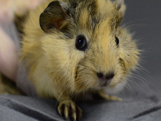 Boomer - Male guinea pig, adult. Intake date:9/6/2017