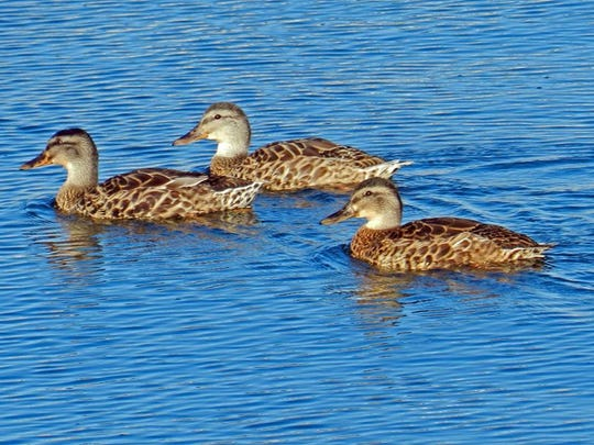 The American black duck is a declining species in Algoma Harbor, seen here in 2011.