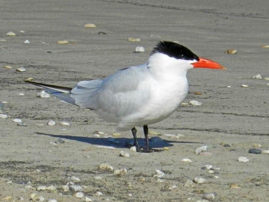 A Caspian tern on Crescent Beach in Algoma.