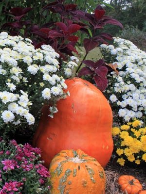 With a backdrop like Maximilian sunflowers, pumpkins, gourds and mums look more at home in a fall tableau.