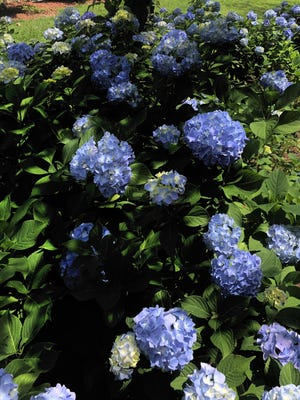 French hydrangeas (macrophylla) are regaled with  deep blue blooms in our acidic soils.