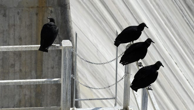 Black vultures roost on Bull Shoals Dam in this Dec. 3, 2012 file photograph. The birds have caused more than $100,000 of damage at the dam over the past several years.