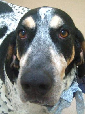 Steel is a purebred bluetick coonhound.