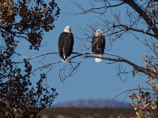 A pair of Bald Eagles observed traffic from their vantage