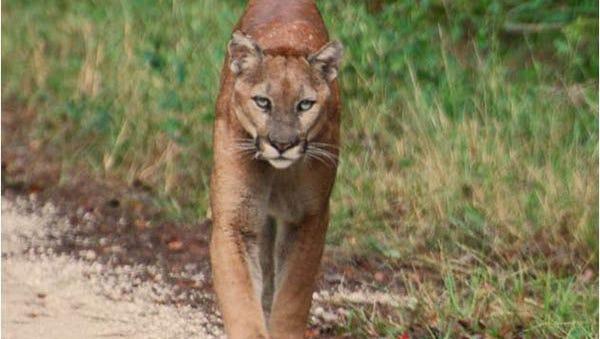 File image of a Florida panther.