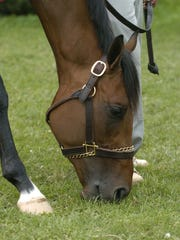 Kentucky Derby winner Barbaro grazes at Churchill Downs on May 7, 2006, the Sunday morning after winning the race.