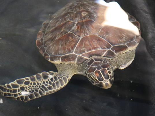 Green-injured-turtle.png