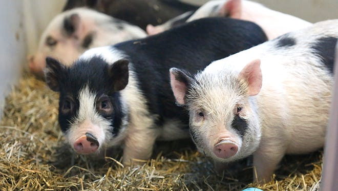 Eight potbellied pigs are being cared for in a cat room at the Fond du Lac Humane Society. A $1.8 million expansion project will give the animal shelter more space for both people and animals. Doug Raflik/USA TODAY NETWORK-Wisconsin