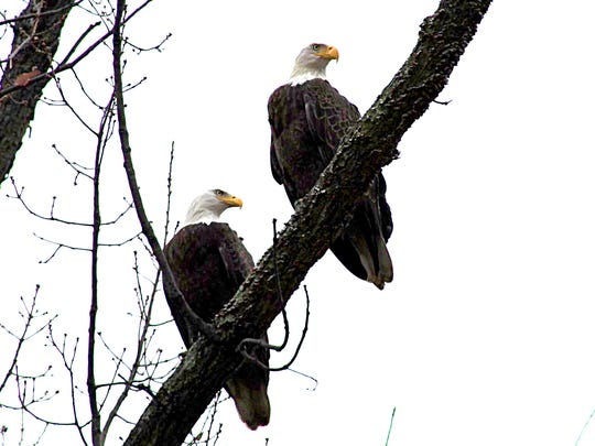Local bird enthusiast and owner of Dugan Landscaping, Mike Dugan, frequently spots this pair of bald eagles from his back yard in Pennsauken, N.J. Thursday, January 19, 2017.