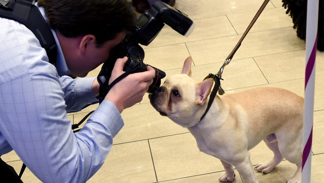 A photographer takes a photo of a French Bulldog during a press conference by the Westminster Kennel Club on Jan. 30 in New York to show off the the new breeds eligible to compete in the 141st Westminster Kennel Club Dog Show and to promote the 2017 Masters Agility Championship.