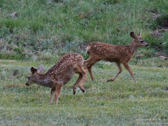 Two fawns kick up their heels in play.