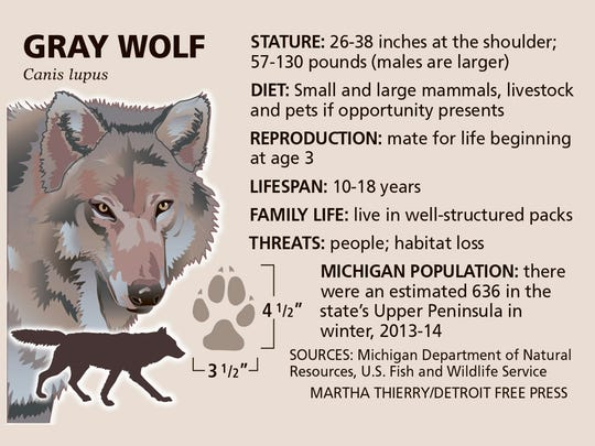 Michigan's gray wolves are found in the Upper Peninsula and on Isle Royale in Lake Superior.