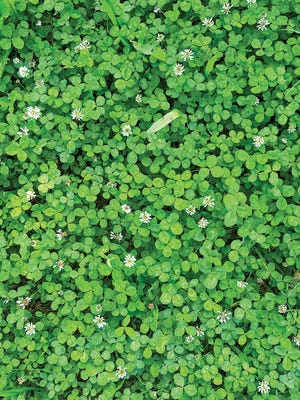 Let the clover take over! You won't have to mow the low-growing and drought-resistant perennials and it attracts honeybees and butterflies to your yard.