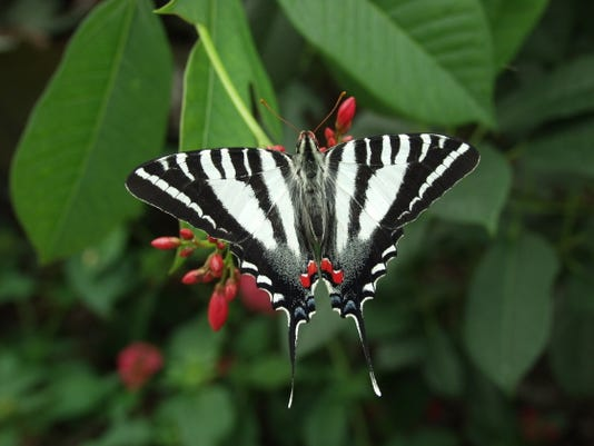 Zebra swallowtail Eurytides marcellus 9796.JPG