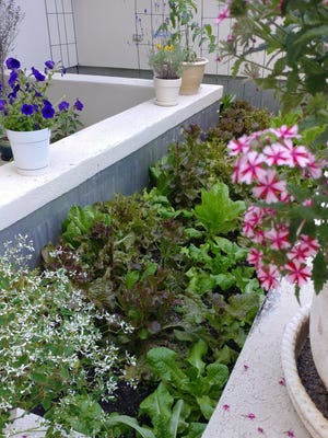 Pots of flowers and herbs frame the lettuce in the potager garden.