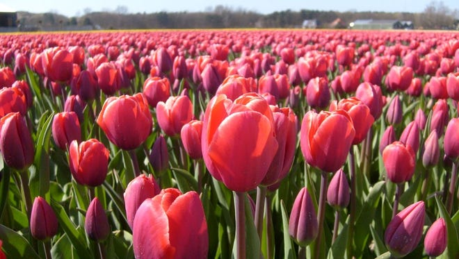 Tulips in the Netherlands.