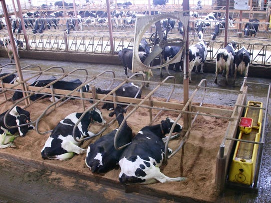 Cow comfort, provided by sand bedding, is vital to