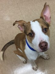 Jack is a 1-year-old terrier mix who came into the shelter as a stray. He's still got a lot of puppy in him, but he seems to listen well and is quite motivated by treats (who isn't?). Jack also seems to know sit and shake and loves to kiss! We think he will make someone a really nice companion.