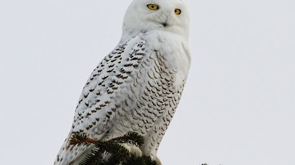 Snowy owls were reported in unprecedented numbers during last year's Great Backyard Bird Count.