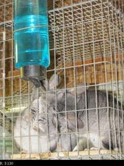During a December 2013 inspection at Cricket Hollow Zoo, a USDA official noticed there was no water in the chinchilla cage. After providing the animals with water, the inspector took this photo of a chinchilla eagerly lapping at the water.