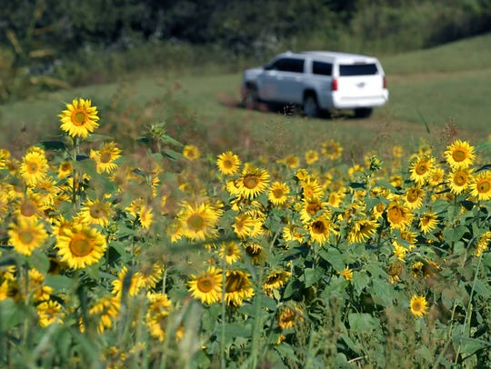 The Wilsons grow sunflowers and zinnias on their farm