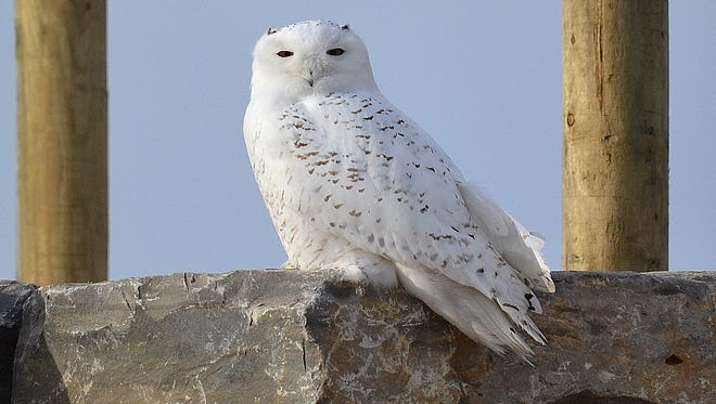 A snowy owl perches upon a stone tower at a miniature golf course under construction in Oconto last December.