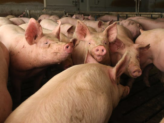Hogs occupy pens at a confinement facility in Ayrshire,