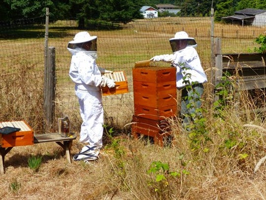 This July 16, 2015 photo taken near Langley, Wash., shows beekeepers at a vineyard apiary who have combined their honeybee colonies so they can share equipment and ease their workload. Community beekeeping is a practical option for hobbyists trying to establish new colonies.