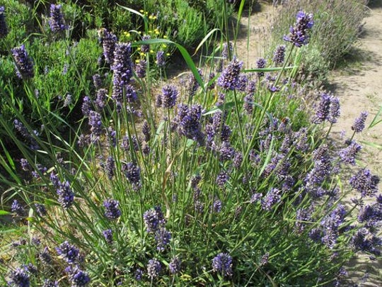 This Aug. 22, 2012 photo shows flowering lavender in a garden near Coupeville, Wash., and is a culinary herb that makes into a great tea. Simply place several teaspoons of lavender buds into a tea ball and steep in boiling water for about 10 minutes. Experiment with herbal mixtures. Herbal teas are a flavorful and easy option for gardeners wanting to brew their own.