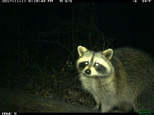 University of Michigan assistant professor Nyeema Harris is researching the behavior of carnivores in Detroit, using motion-triggered trail cameras in more than two dozen city parks. Here, a raccoon gets curious about the camera in the Brightmoor neighborhood's Eliza Howell Park.