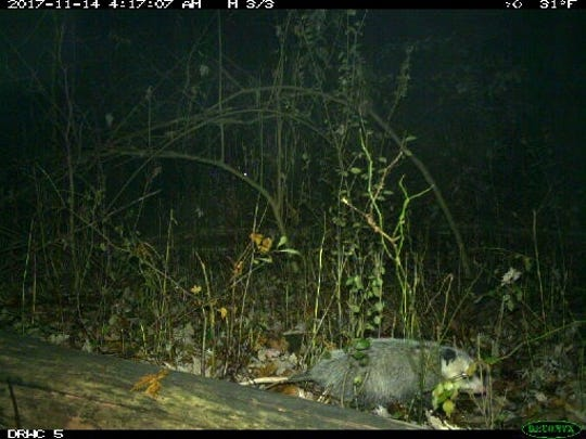 University of Michigan assistant professor Nyeema Harris is researching the behavior of carnivores in Detroit, using motion-triggered trail cameras in more than two dozen city parks. Here, an opossum scurries past the camera at Eliza Howell park in Detroit's Brightmoor neighborhood.