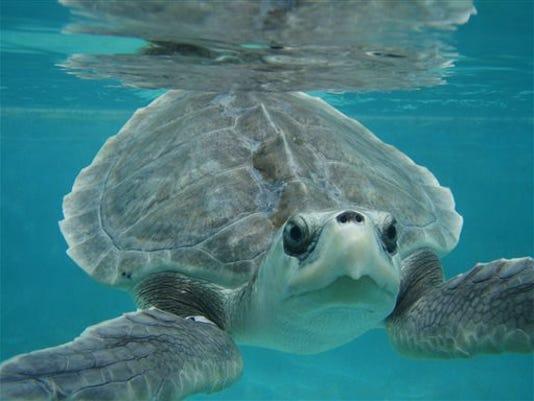 Sea Turtles Release_Kosn